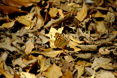 Beautiful butterfly between leaves. A nice butterfly plays and flies around fallen leaves in the forest stock image