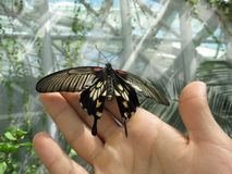 Beautiful butterfly with lot of details on wings. Photo of beautiful butterfly with lot of details on wings, standing on human hand, fingers royalty free stock photography