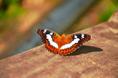 Beautiful butterfly. Lying down on the wood. FRIM Park, Malaysia Stock Photo