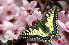 Beautiful butterfly machaon on a branch of cherry blossoms. Beautiful pink cherry blossoms with butterfly. Sakura flowers blooming royalty free stock image