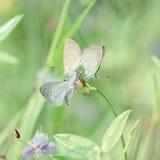 Beautiful butterfly make mating Stock Photography