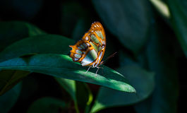 Malachite Butterfly on green plant Stock Photo