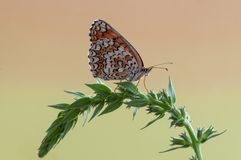 Butterfly Melita in the early morning in a clearing among forest flowers. Beautiful butterfly Melita in the early morning in a clearing among forest flowers royalty free stock image