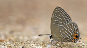 Beautiful Butterfly, Metalic Cerulean, Jamides alecto Royalty Free Stock Photo