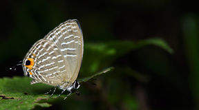 Beautiful Butterfly, Metalic Cerulean, Jamides alecto Stock Photos