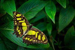 Beautiful butterfly Metamorpha stelenes in nature habitat, from Costa Rica. Butterfly in the green forest. Nice insect sitting on. Green leave stock photos