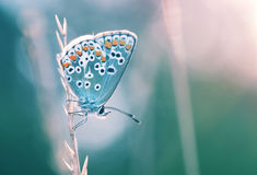 Beautiful butterfly in a natural environment. Beautiful butterfly of a species Polyommatus icarus catching the first rays of sun early in the morning. After Stock Photos
