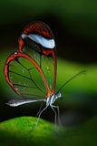 Beautiful butterfly, Nero Glasswing, Greta nero, Close-up of transparent glass wing butterfly on green leaves, scene from tropical stock photography