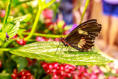 Beautiful butterfly. Observed in the Butterfly Conservatory of American Museum of Natural History Stock Images