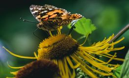 Free Beautiful Butterfly On A Flower Stock Photography - 156286942