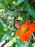 Beautiful butterfly on an orange flower Royalty Free Stock Photo