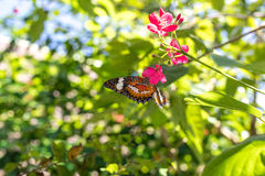 Beautiful butterfly outoodrs in the park of tropical Bali island, Indonesia. Exotic butterfly. Royalty Free Stock Image
