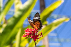 Beautiful butterfly outoodrs in the park of tropical Bali island, Indonesia. Exotic butterfly. Stock Photography