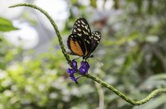 Beautiful Butterfly over purple flower. In California Academy of Sciences at San Francisco Royalty Free Stock Image