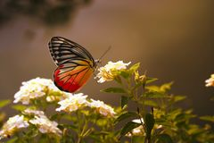 Beautiful Butterfly The Painted Jezebel