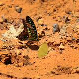 Beautiful butterfly in  Pang Sida national park. Stock Photo