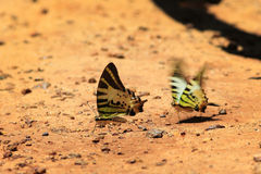 Beautiful butterfly in  Pang Sida national park. Royalty Free Stock Images