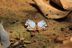 Beautiful butterfly in  Pang Sida national park. Royalty Free Stock Photography