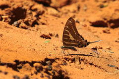 Beautiful butterfly in  Pang Sida national park. Royalty Free Stock Photo