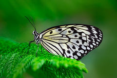 Beautiful butterfly Paper Kite, Idea leuconoe, insect in the nature habitat, green leaves, Philippines, Asia. Black and blue butte stock photo