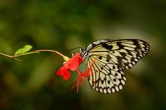 Beautiful butterfly Paper Kite, Idea leuconoe, insect in the nature habitat, green leaves, Philippines, Asia. Wildlife from Asia. White butterfly on the eewd stock photos