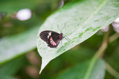 Beautiful butterfly Parides iphidamas on green leaf Stock Photos