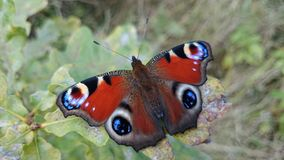 Beautiful butterfly. Peacock Eye Royalty Free Stock Image