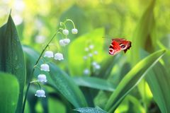 Beautiful butterfly peacock eye flies over white delicate Lily Royalty Free Stock Image