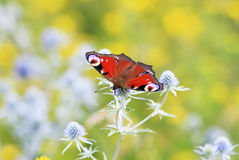Beautiful butterfly of peacock eye sitting on the flowers of thistles in the meadow Stock Images