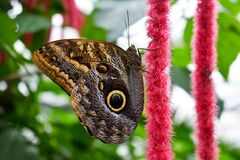 Beautiful butterfly Peleides blue morpho.