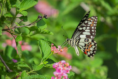 Free Beautiful Butterfly Perched On A Flower. Stock Images - 93734944
