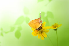Beautiful butterfly perching on yellow flower isolate on green b Royalty Free Stock Images