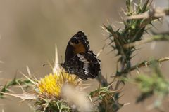 Close Up of a butterfly placed on a yellow thistle stock image