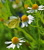 Springtime daisy flower with a beautiful butterfly Pieris napi Royalty Free Stock Photography