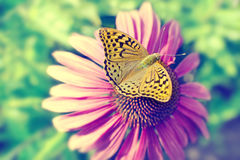 Beautiful butterfly on a pink flower daisy. Summer concept. Stock Photos