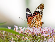 Beautiful butterfly (Polygonia c-aureum) Stock Images