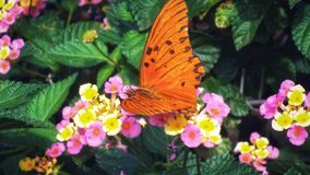Beautiful butterfly posing on some roses and leaves. I had a difficult time to photograph it, but it went very well. It& x27;s orange and Argentina is good. The royalty free stock image