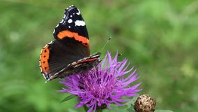 Beautiful butterfly on purple flower. Beautiful butterfly on the purple flower stock video footage