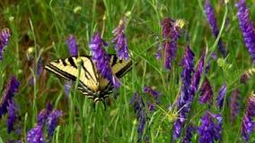 Beautiful butterfly in purple flowers. Video of beautiful butterfly in purple flowers stock video