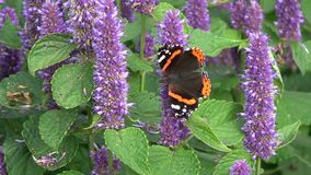 Beautiful butterfly red admirol and bumblebee on anise hyssop flowers. Beautiful butterfly red admirol and bumblebee on blossoming anise hyssop flowers stock video