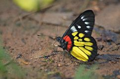Beautiful butterfly. Butterfly Red-base jezebel;Common area, such as moist sand. Along streams sunlight Stock Photos
