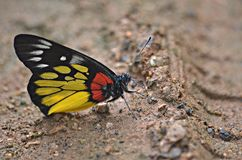 ฺBeautiful Butterfly. Butterfly Red-base jezebel;Common area, such as moist sand. Along streams sunlight Stock Photography