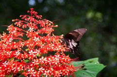 Beautiful Butterfly on Red Clerodendrum Paniculatum, Pagoda Flow royalty free stock photo