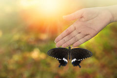 Beautiful butterfly rested on woman's hand. Common Mormon ( Papilio palytes ) Beautiful butterfly perched on hand with sun ray, bokeh , blurred background and Stock Photo