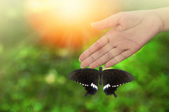 Beautiful butterfly rested on woman`s hand. Common Mormon  Papilio palytes  Beautiful butterfly perched on hand with sun ray, bokeh , blurred background and Stock Images