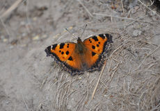 Beautiful butterfly Royalty Free Stock Image