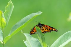 A beautiful butterfly resting on milkweed. A female monarch butterfly with open wings rests on the tip of a common milkweed leaf with open green space stock image