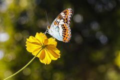 Beautiful butterfly resting on yellow Cosmos flower Stock Photography