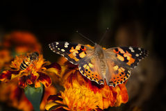 Beautiful Butterfly Rests On A Yellow Flower Royalty Free Stock Photo