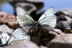 Beautiful butterfly on the rocks near the water, nature, Royalty Free Stock Photos